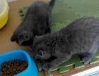 出售两只小猫崽