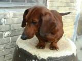 腊肠犬纯正健康出售-幼犬出售,当地可以上门挑选