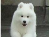 纯种萨摩耶幼犬 找新家了 天使的微笑摩