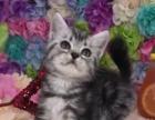 家养宠物猫美短英短找新家