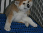 哪里卖秋田犬 秋田犬买卖 秋田犬照片 秋田犬交易