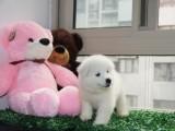 正规犬舍出售精品萨摩耶幼犬包健康签协议送用品