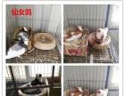公斤肉鸽养殖元宝鸽价格观赏鸽价格蛇头鸽熊猫金鱼鸽价格