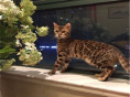 猫舍出售纯种健康孟加拉豹 猫可上门挑选全国发货