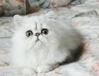 爆毛量金吉拉猫 血缘纯正 !