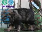 犬舍专业繁殖高加索巨型大骨架包纯种健康养活
