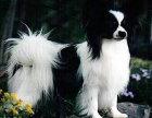 蝴蝶犬价格 蝴蝶犬多少钱 纯种蝴蝶犬多少钱一只
