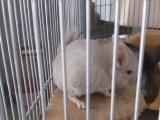 2个月家养棕色龙猫出售