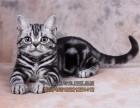 成都买猫 纯种健康美国短毛猫 自家繁殖虎斑猫幼崽 立耳虎斑猫