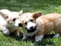 深圳哪里有卖柯基 法牛 柴犬 秋田 巴哥等二十个品种