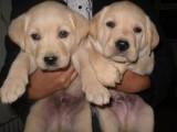 正规犬舍繁殖拉布拉多等名犬 健康保障签协议包活可送货