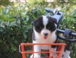 出售边境牧羊犬 边境牧羊犬多少钱 较聪明的狗