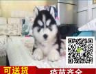 哈士奇雪橇犬带血统证书赠送狗证 免费送货上门