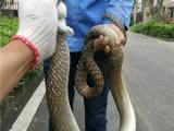 广州防蛇公司,捕蛇公司,抓蛇公司就选春华公司