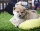 咸阳柴犬怎么卖的 咸阳日系柴犬多少钱 咸阳柴犬的价格