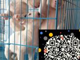 牛头梗犬 纯种蛋脸牛头梗犬 签协议保纯种健康