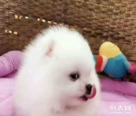 茶杯博美犬纯种幼犬 白色 哈多利球形 迷你袖珍犬 小体宠物狗   微信