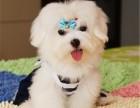马尔济斯幼犬纯种小体雪白茶杯犬迷你幼犬