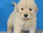 重庆哪里有纯种的金毛出售 在重太哪里买到金毛犬 重庆出售金毛