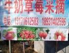 绿色无公害牛奶草莓采摘香瓜采摘