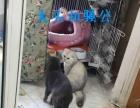蓝猫配种 纯种猫配种 蓝白 折耳立耳种公借配