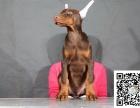 爱宠人的福音, 这里有您的专属爱宠,纯种健康杜宾幼犬出售