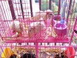 情人节特别礼物宠物级家养逆毛稀有色荷兰猪
