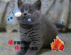 专业繁育纯种美国短毛猫 美短加白五粉幼猫 健康保证