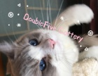 TICA/CFA/WCF注册猫舍布偶猫宝宝海豹山猫双色