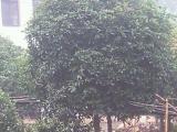 多类大树小苗出售