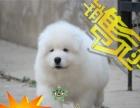 雪域传奇澳版白魔法血系萨摩耶幼犬 雪白毛量上