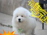 雪域传奇——澳版白魔法血系萨摩耶幼犬—— 雪白毛量