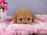 重庆狗场出售泰迪 比熊 博美 哈士奇 金毛松狮 看狗上门优惠