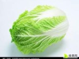 供应:辽宁黄心白菜基地,凌海新3号白菜上市