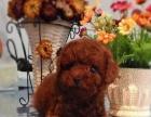 买狗有惊喜送礼品签协议包健康纯种泰迪熊犬