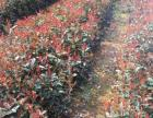 石楠,红叶石楠杯苗,湖南红叶石楠盆苗,红叶石楠袋苗