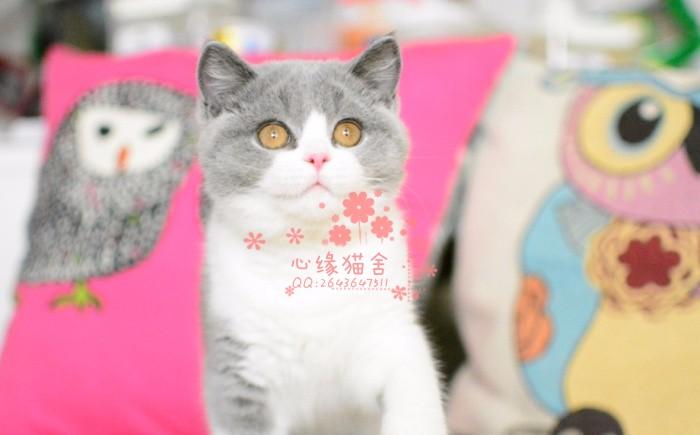 乌鲁木齐哪里有卖蓝猫幼崽 乌鲁木齐较便宜蓝猫多少钱一只保健康