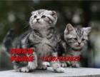 深圳哪里有卖美国短毛猫价格多少纯种美短价钱多少钱