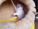 湖北武汉纯种英短银渐层幼猫卖出价格