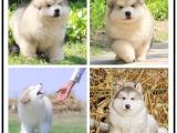本地哪里有宠物店 巨型阿拉斯加雪橇犬
