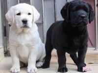 三明犬舍直销哈士奇,拉布拉多,萨摩,博美等名犬批发价出售