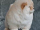 出售精品 松狮犬 假一赔十 包纯种健康包退换