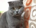 家养蓝猫 蓝白 折耳竖耳 2个月