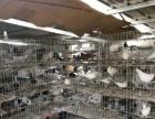 出售乳鸽,幼鸽,观赏鸽