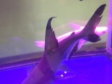出售剃刀鱼鹦鹉鱼地图鱼虎头鲨银龙