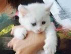 出售健康可爱小猫咪