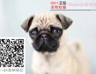 专业繁殖(巴哥幼犬)可来基地挑选 签协议保健康
