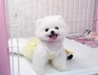 俊介犬哈多利球版 博美 白富美的较佳选 包你养活