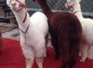 精品马犬,2-6个月的威龙马犬养殖场