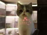 潍坊加菲猫多少钱 潍坊哪里出售的加菲猫幼犬价格最便宜